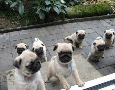 pugs for sale in sydney the pet directory australia dogs pug world s largest