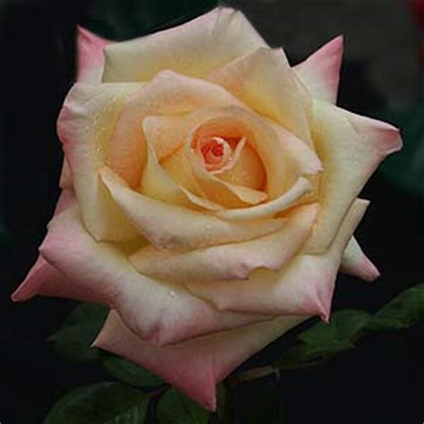 princess diana rose diana princess of wales rose nurseries online