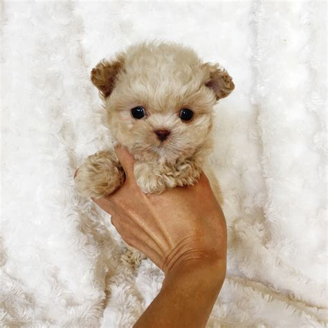 maltipoo pomeranian puppies micro teacup maltipoo puppy for sale iheartteacups