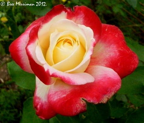 images of roses delight ii by breespawn on deviantart