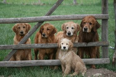 golden retrievers to hunt breeder golden retriever breeder trainer new castle co dogs new castle