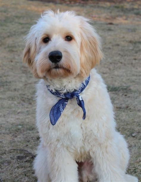aussiedoodle puppies hair cuts 17 best ideas about goldendoodle haircuts on pinterest