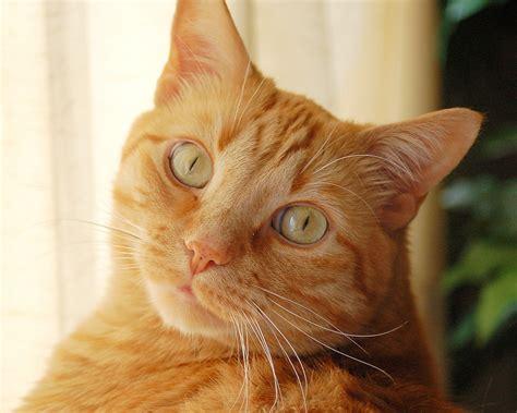 Cute orange cat free beautiful wallpaper download for your