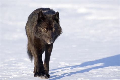 black wolf black wolf in snow facts and photos all wildlife photographs