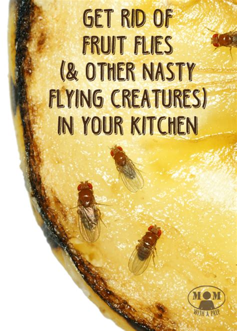 Gnats In Kitchen How To Get Rid Of Them by How To Rid Of Annoying Fruit Flies And Gnats In The