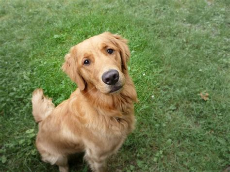 tumors in golden retrievers cancer becomes a growing concern for pet parents in the 21st century animals matter