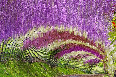wisteria flower tunnel spring in japan wonderful wisteria billions of