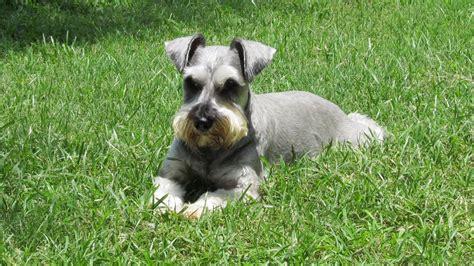schnauzer puppies houston miniature schnauzer rescue breeds picture