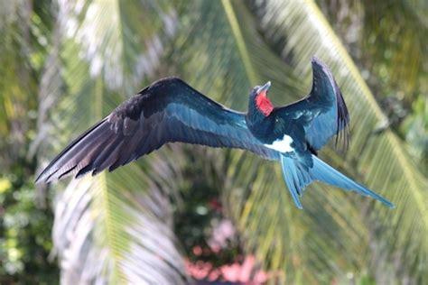 Christmas Island Frigatebird [Bushpea 1/12]