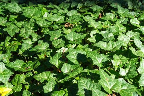 pflege efeu efeu als bodendecker 187 richtig pflanzen und pflegen