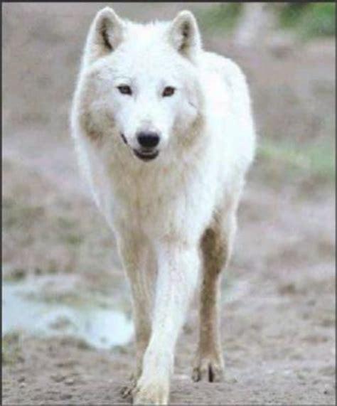 Loup Blanc - La vie du Loup