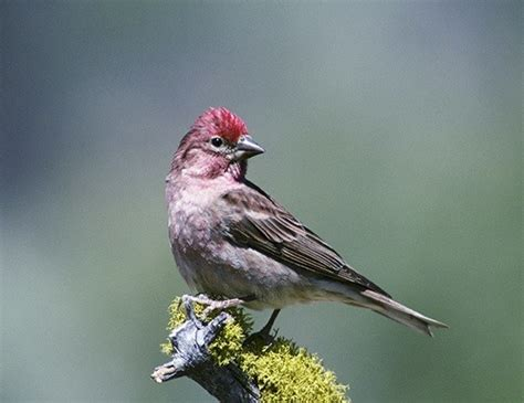 house finch life cycle cassin s finch life expectancy