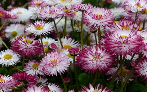 bunga aster merah daisies flowers  descent  china