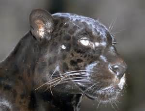 Jaguar Wisdom Shamanism Working With Animal Spirits