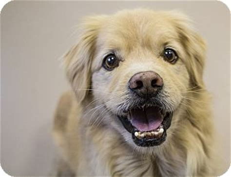 wisconsin adopt a golden retriever barney adopted appleton wi golden retriever pekingese mix