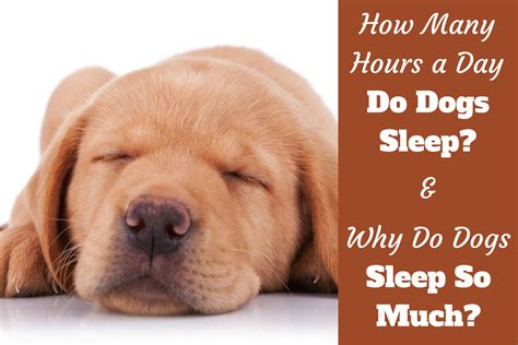 how many hours a day do dogs sleep why do dogs sleep so much how many hours a day do dogs sleep