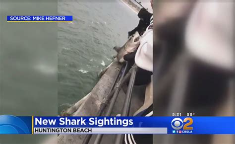 orange shark shark sightings cause southern calif beaches to close