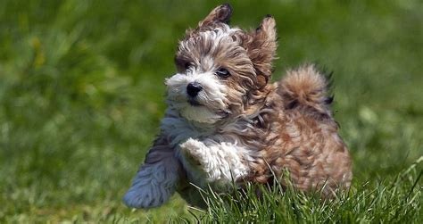 smallest breeds grown smallest breed breeds picture