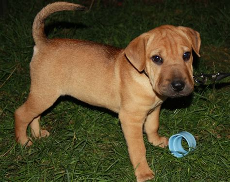 shar pei mix puppies sharp eagle shar pei x beagle mix info temperament puppies pictures