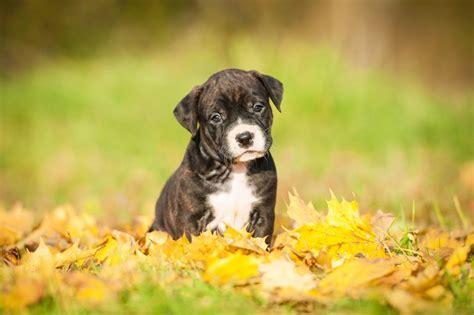 impetigo in dogs impetigo in puppies pets4homes