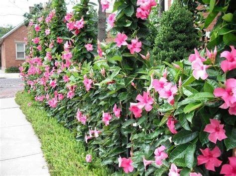 Bibit Bunga Alamanda tanaman hias merambat bibit