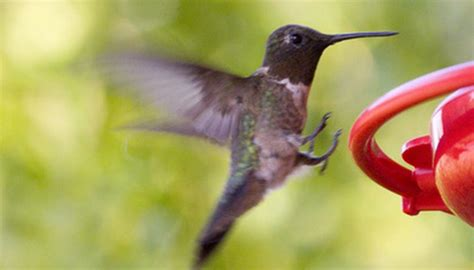 how to track a hummingbird s migration sciencing