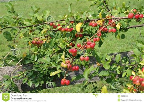 crabapple tree branch royalty free stock image image