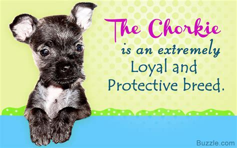yorkie behavior traits personality traits of the tiny and lovable chihuahua yorkie mix
