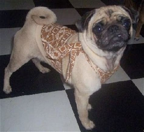 pug grown pug breed pictures 4