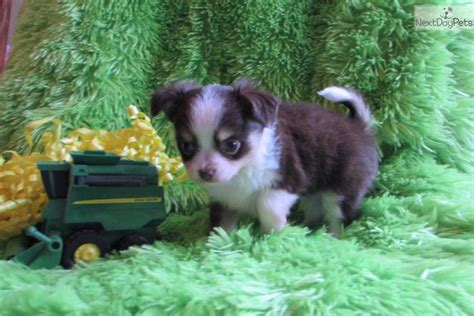 chihuahua puppies for sale in oklahoma chihuahua puppies for sale tulsa breeds picture