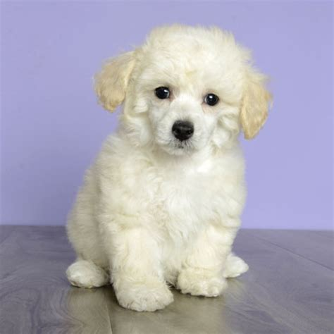 just puppies orlando fl poodle 3239 799