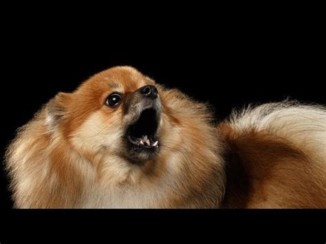 pomeranian stop barking pomeranian barking pomeranian howling and barking compilation 2016