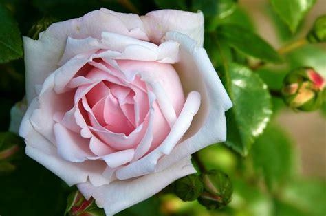 wallpaper bunga rose hitam 50 gambar bunga mawar terlengkap 2017 warna putih ungu