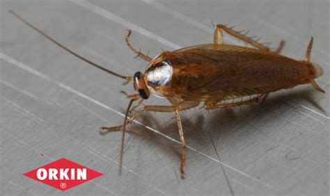 do roaches eat bed bugs the best 28 images of do roaches eat bed bugs