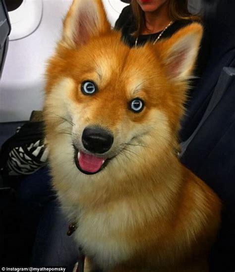 pomeranian cross husky the pomsky is a pomeranian cross husky who looks like a fox daily mail