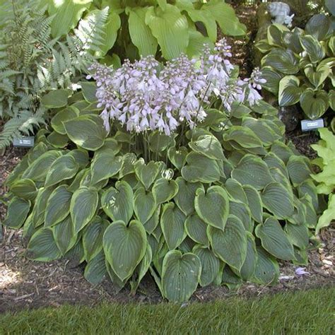 abby hosta for small spaces shade perennials zone 3 4 pinterest products spaces and