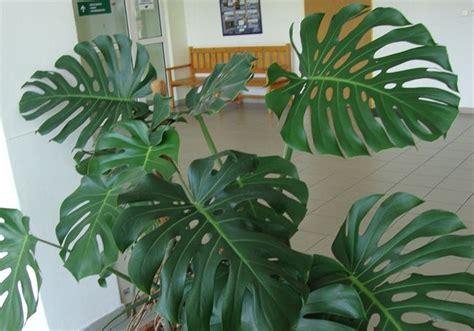 filodendron koezintezmenyben szobanoevenyek pinterest