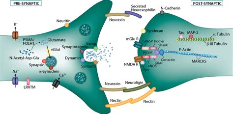 Neurotransmitters Also Search For Opinions On Neurotransmitter Receptor