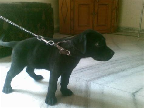 labra puppy labra for sale in jalna maharashtra classified indialisted