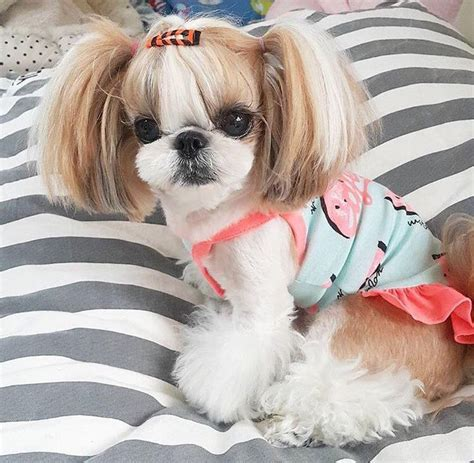 shih tzu poodle grooming best 25 shih tzu ideas on shih tzu puppy shihtzu grooming and shitzu puppies