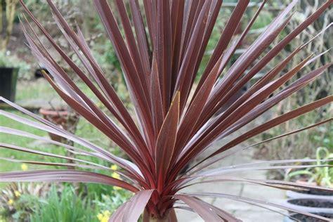 Best Patio Plants by Trio Of Hardy Purple Tower Cordyline Palms