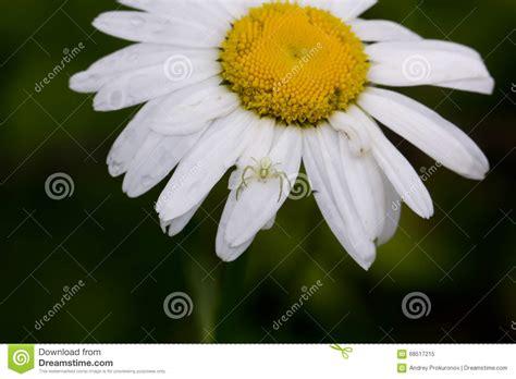 fiore della camomilla fiore della camomilla co immagine stock immagine