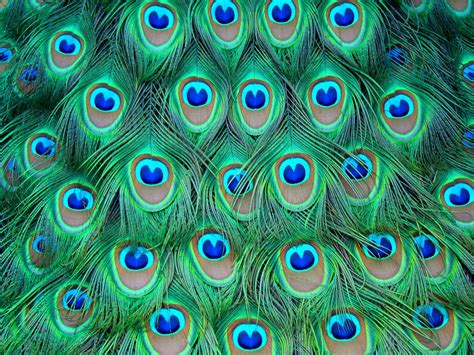 peacock colors feathers peacock color h wallpaper 3264x2448 128077