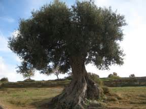 olive tree wallpaper olive tree forces of nature nature background