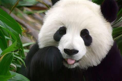 panda backgrounds pixelstalknet