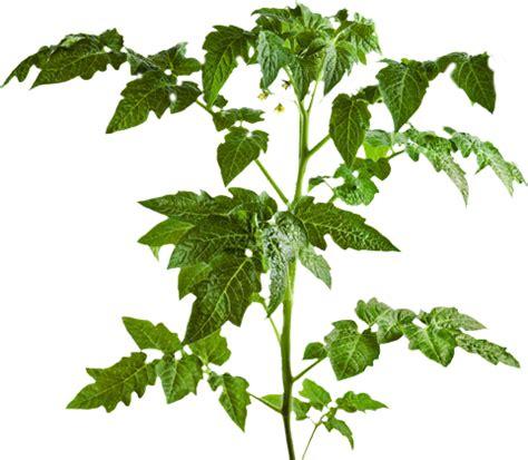 houseplant vine ricoroots