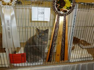 Jo 3913 Atasan Imp Cat lalola birman cats birman cat kitten breeder andover hshire uk