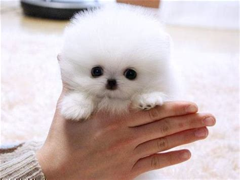 pomeranian puppies for sale in minnesota pomeranian for sale petsale inc