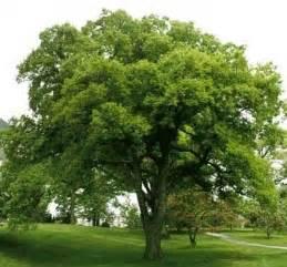 common backyard trees celtis occidentalis how my garden grows