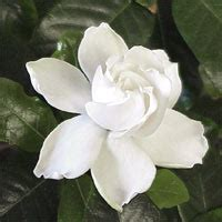 imagenes de flores gardenias im 225 genes de flores y plantas gardenias